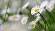 Beautiful white daisy growing in a summertime.(Leucanthemum vulgare) video