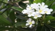 Beautiful White Frangipani Flowers video