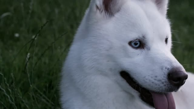Beautiful White Husky Dog Taking A Rest. video