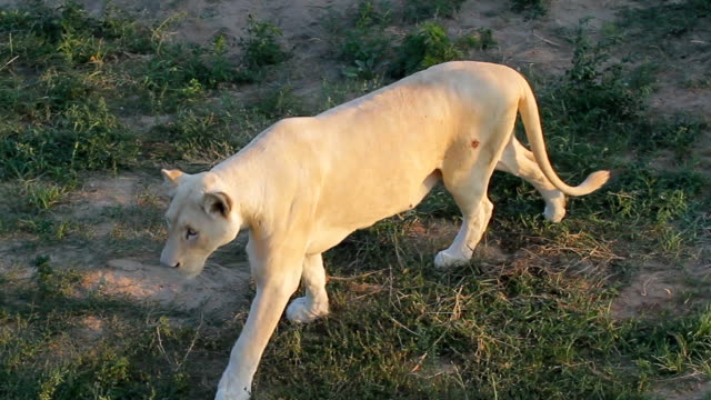 Beautiful white lioness. video