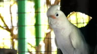 Beautiful white parrot video