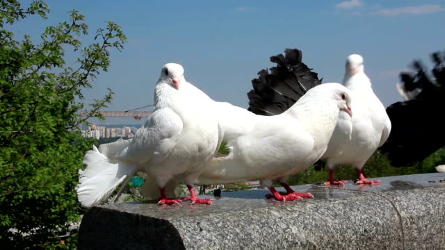 Beautiful white peacock pigeons video