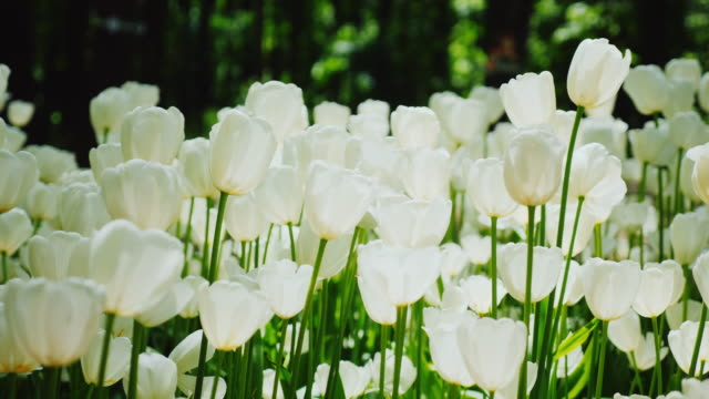 Beautiful white tulips. The petals of the flowers illuminate the sunlight. Peaceful spring landscape video
