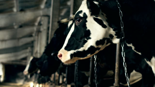 A beautiful white-black cow in a barn video