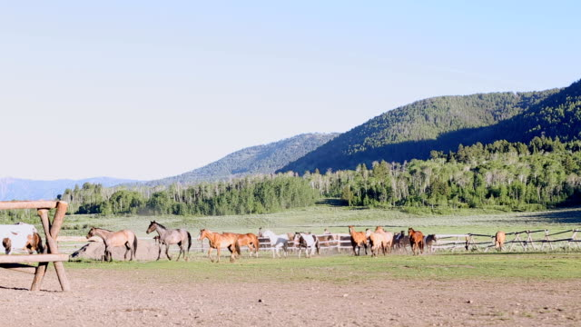 Beautiful wild mustangs being driven into corral by ranchers video