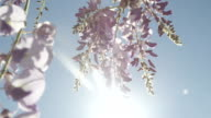 SLOW MOTION CLOSEUP DOF: Beautiful wisteria flowers blooming on sunny summer day video