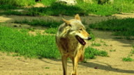 Beautiful wolf video