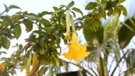 Beautiful yellow angel's trumpet flower also known as Brugmansia video