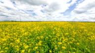 Beautiful Yellow Oilseed Rape Flowers in the Field video