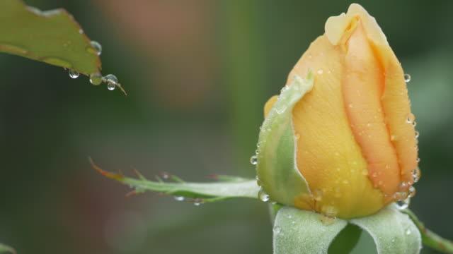 Beautiful yellow rosebud with falling rain drop. video