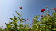 Beautiful Zinnia flower field in breeze with blue sky video