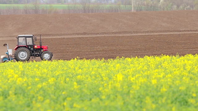 Beautifully yellow oil seed rape flowers in the field. video