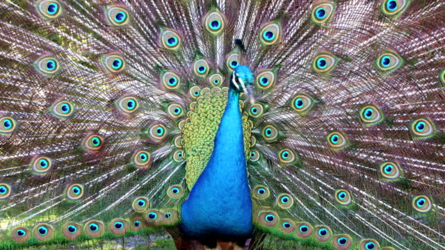 Beautify Peacock displaying video