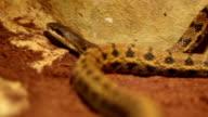 Beauty Ratsnake Crawling video