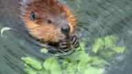 Beaver video
