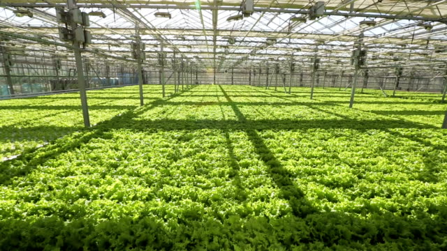 A bed with a green salad in a large greenhouse. The camera goes down video