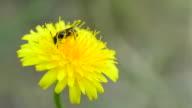 Bee alighting on dandelion and collecting pollen video