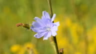 Bee alights on blue chicory flower and flies away video