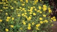 Bee and Common Purslane Flower video