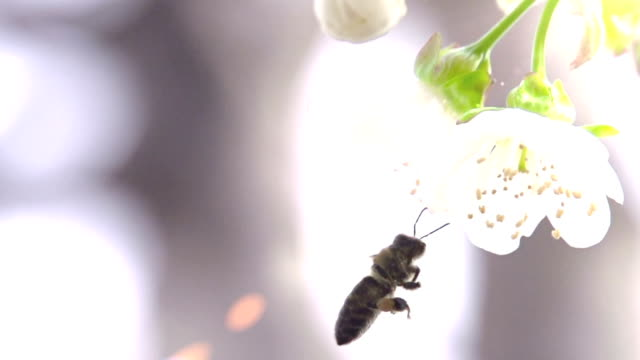 Bee and Flower video