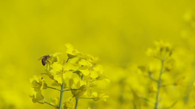 bee and rape flowers selective focus video