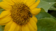 Bee and sunflower video