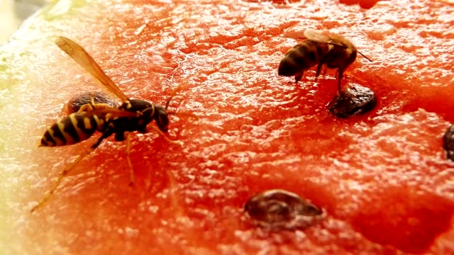 Bee and Wasp Sit on Water-Melon and Drink Nectar Another Bee Fly and Bring First Bee Macro video