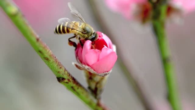 bee busy drinking nectar from the flower video