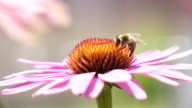 SLOW MOTION CLOSE UP: Bee collecting honey and pollen from blossoming flower video