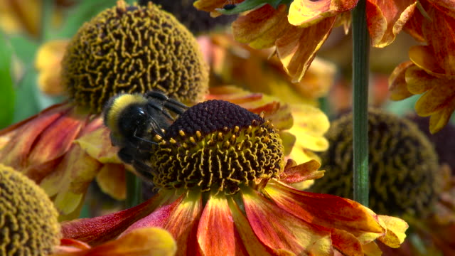 Bee collecting nectar and pollen from a garden flower video