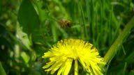 A bee collecting nectar from dandelion, and then fly away, slow motion video
