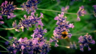 Bee Collecting Pollen From Flowers video
