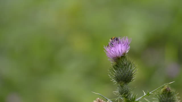 Bee collecting pollen on a thistle flower video