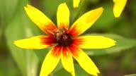 Bee collecting pollen on yellow rudbeckia flower. FullHD macro video video