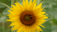 A bee collects nectar from sunflowers video