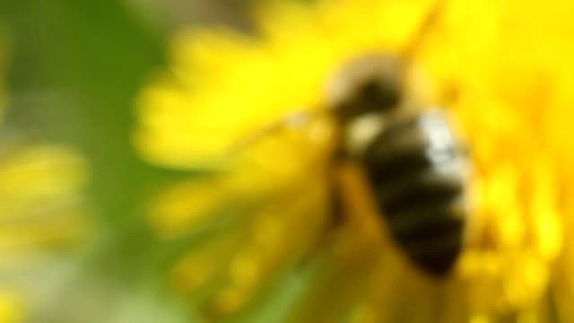 bee collects nectar on a yellow dandelion flower video