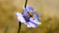Bee collects nectar on blue chicory video
