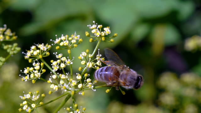 bee  collects nectar video
