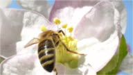 Bee Collects Pollen and Nectar from Spring Blossom Fruit video
