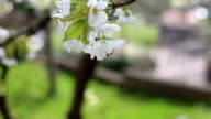 Bee collects pollen on cherry tree video