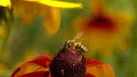 Bee crawling on rudbeckia flower and flying away. Super slow motion macro clip, 250 fps video