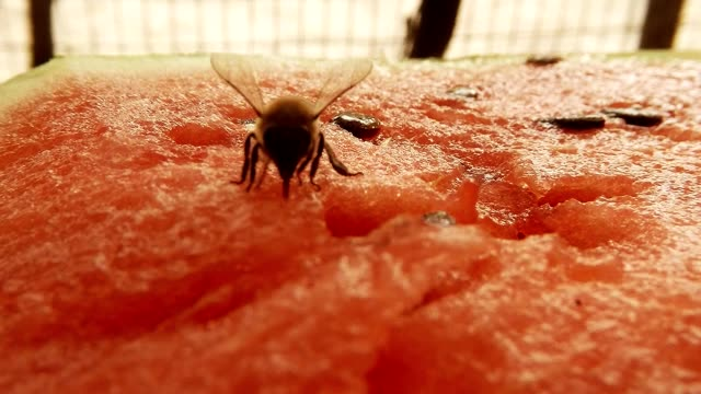 Bee Creep on Red Water-Melon and Drink Nectar on Background Fly Creep Macro video