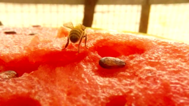 Bee Drink Nectar on Water-Melon on Background Fly Creep Macro video