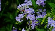 Bee drinking nectar video