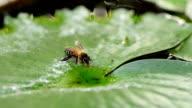 Bee drinking water on lotus leaf video