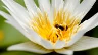 bee eat pollen of lotus video