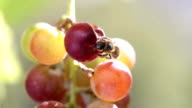 Bee eating the ripe berries of grapes. video