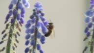 Bee feeding in the flowers video