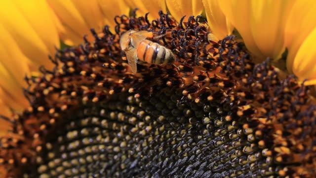 Bee feeding video