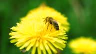 bee flies from dandelion video